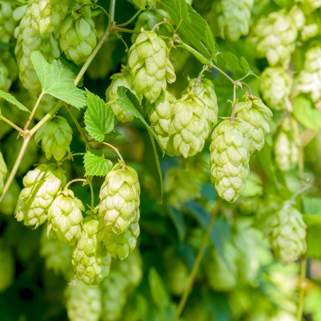 """Humulus Lupulus Flowers, Also Called Hops"" stock image"