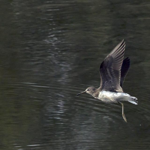 """Green Sandpiper in flight."" stock image"