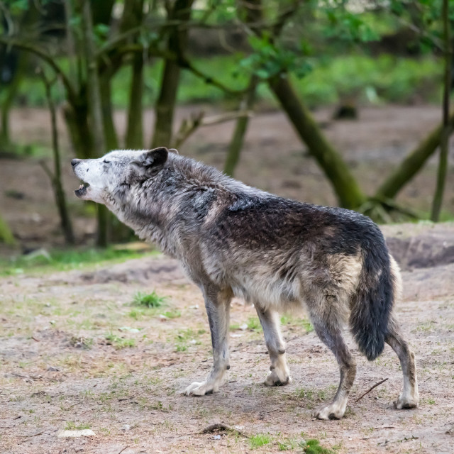 """""""Wolf howling in nature"""" stock image"""