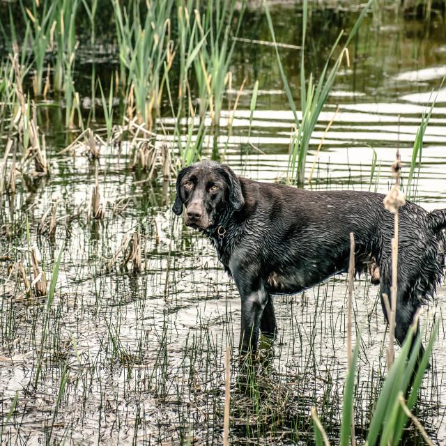 """Hunting dog"" stock image"
