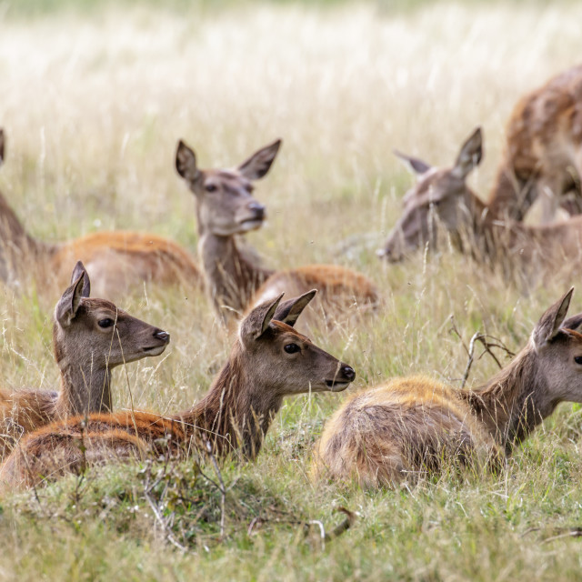 """Red Deer"" stock image"