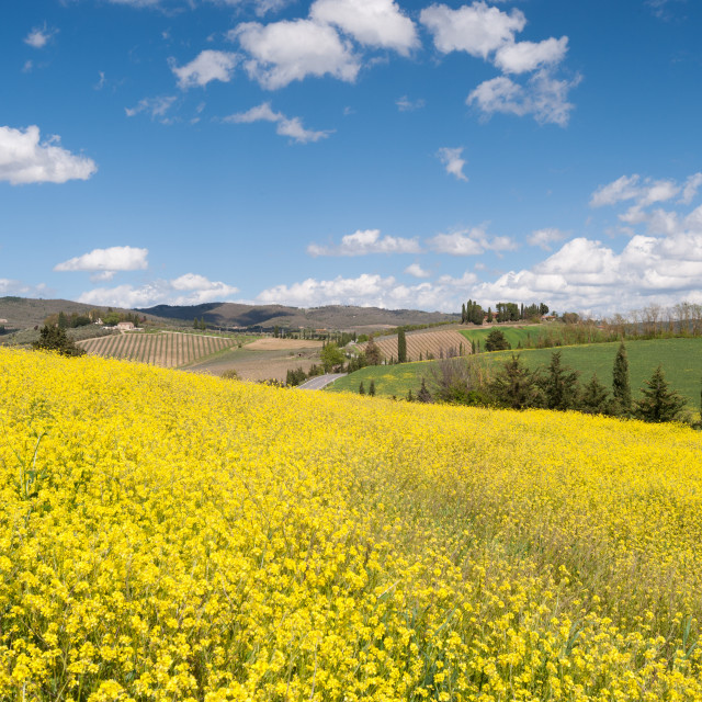 """Canola Field"" stock image"