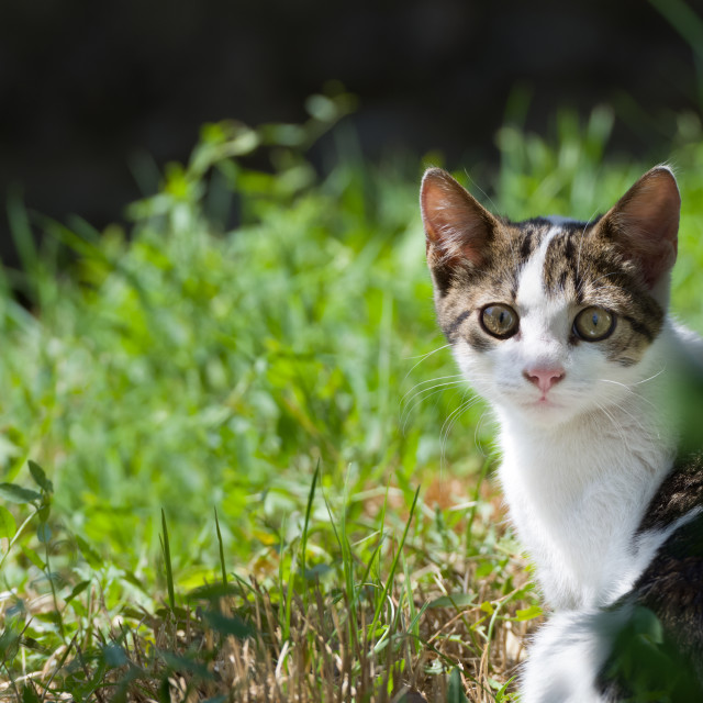 """Dun Cat Watching in Grass"" stock image"