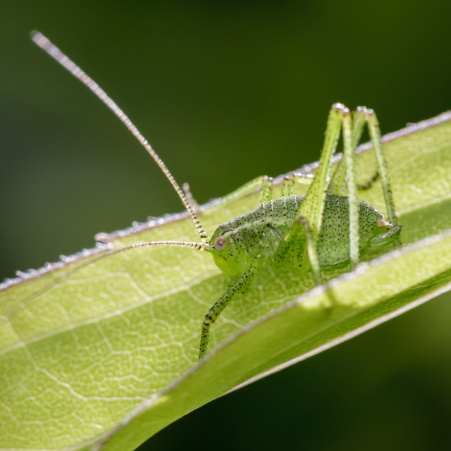 """Speckled Bush-cricket"" stock image"