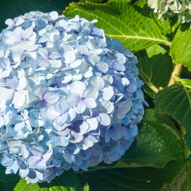 """soft blue hydrangea bloom"" stock image"