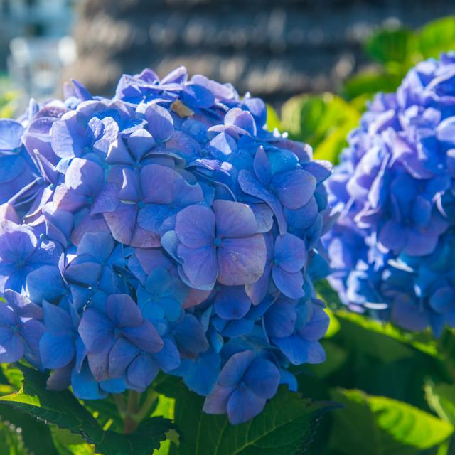 """two blue hydrangeas blooms"" stock image"
