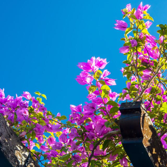 """pink ivy bush"" stock image"