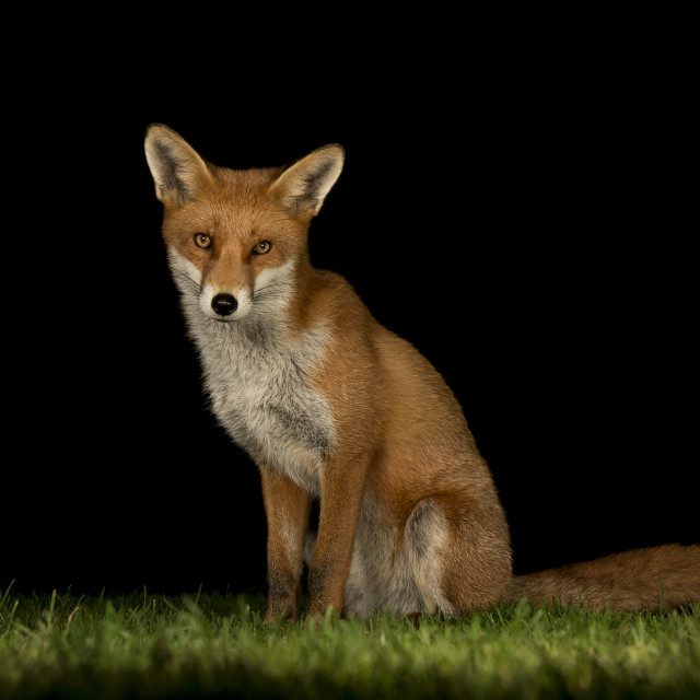 """Red fox"" stock image"