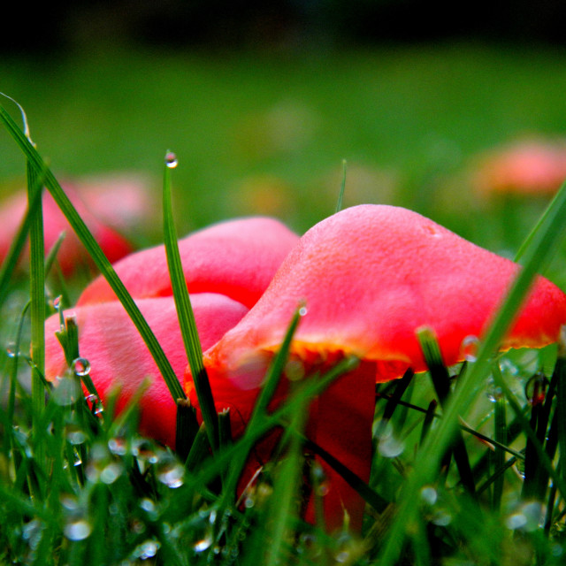 """""""Red Toadstools"""" stock image"""