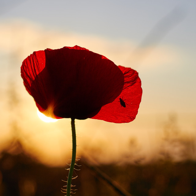 """Poppy flower"" stock image"