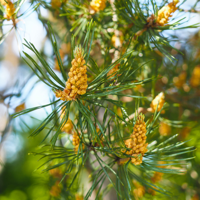 """Evergreen pollination on fir tree at closeup in forest"" stock image"
