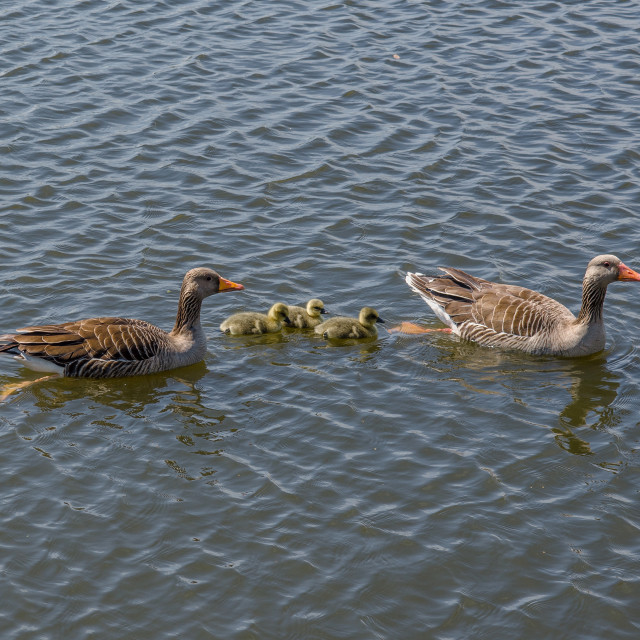 """Geese with cute goslings"" stock image"