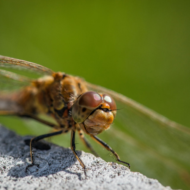 """Sympetrum vulgatum dragonfly close-up"" stock image"