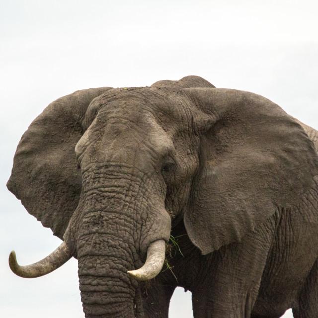 """""""Africa elephant"""" stock image"""