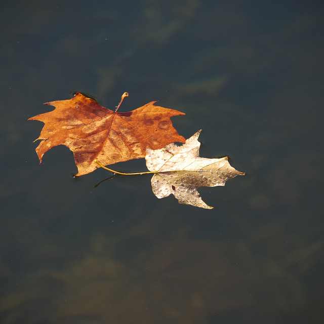"""two leaves in water"" stock image"