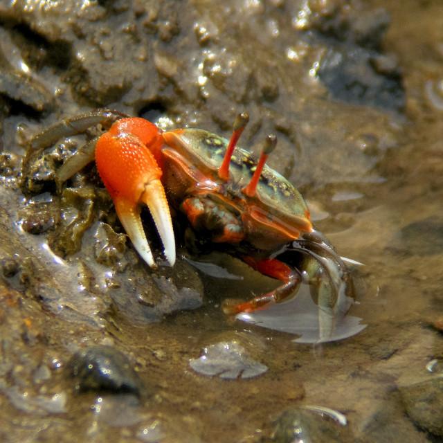"""fiddler crab"" stock image"