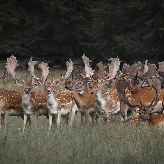 """Fallow Deers Deer"" stock image"
