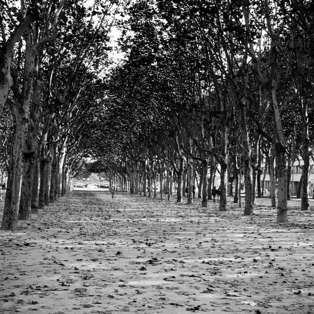 """Tree Canopy, Bordeaux"" stock image"