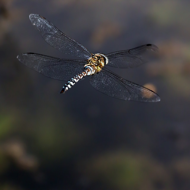 """Dragonfly in Flight 1."" stock image"