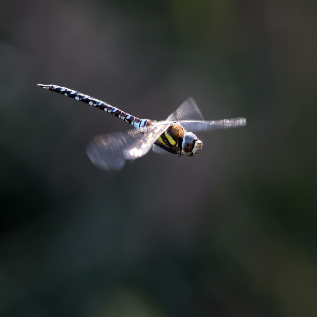 """Dragonfly in Flight 4."" stock image"
