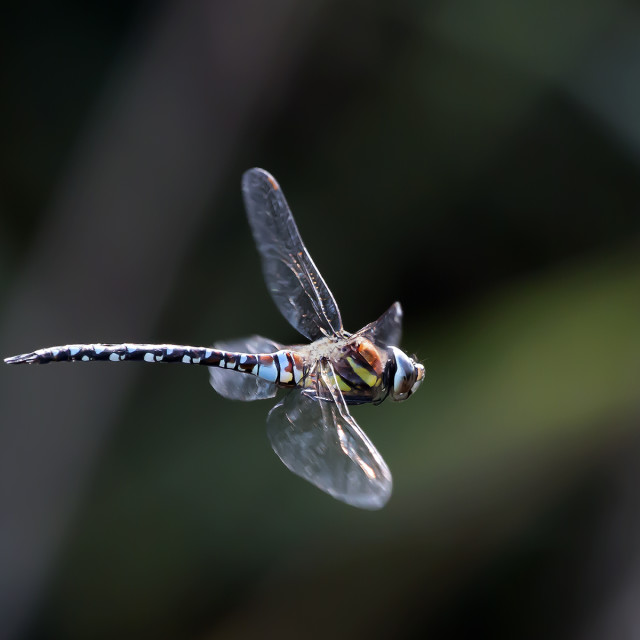 """A Dragonfly in Flight 5."" stock image"