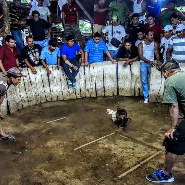 """""""Sunday cock fight in León, Nicaragua."""" stock image"""