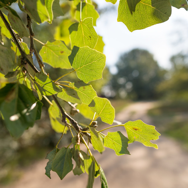 """Backlit Poplar Leaves"" stock image"