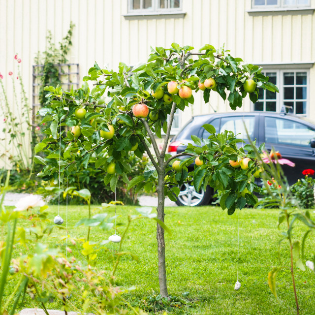 """Small apple tree in front of beige house in garden, fresh green grass"" stock image"