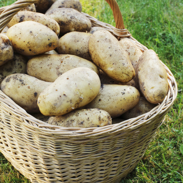 """Potato harvest"" stock image"