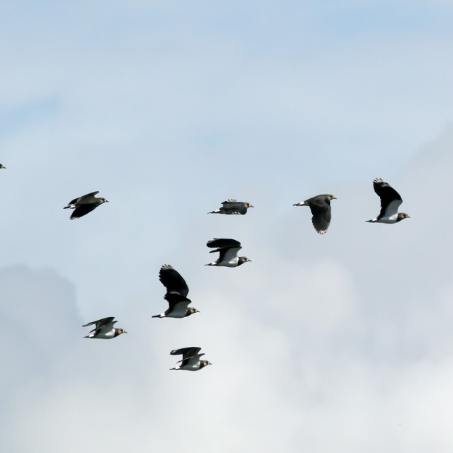 """A Flock of Lapwings."" stock image"