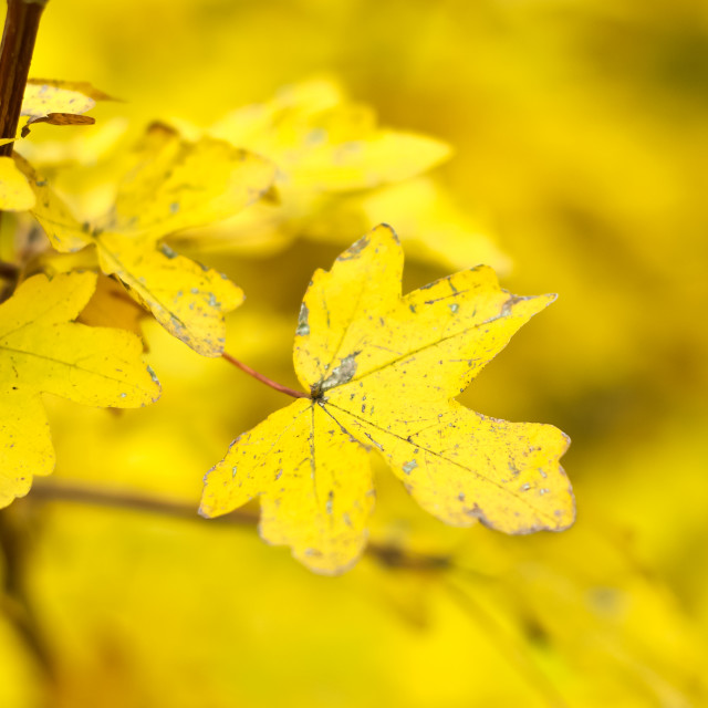 """""""Yellow Leaves"""" stock image"""