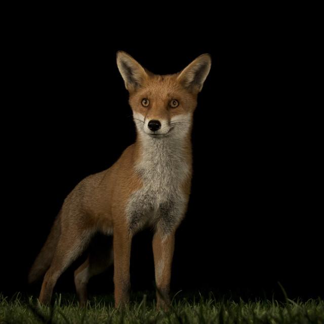 """Alert Fox"" stock image"