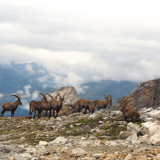 """Ibex herd in the Swiss Alps"" stock image"