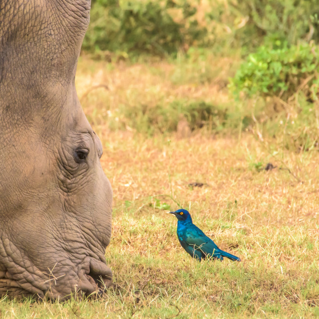 """Rhino and Starling"" stock image"