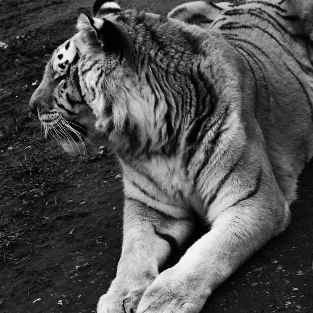 """Tiger."" stock image"