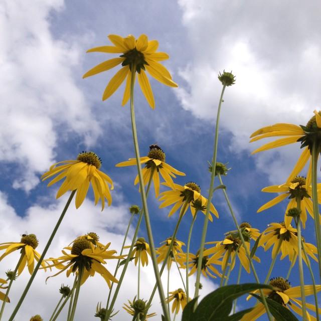 """Ox-eye daisies"" stock image"