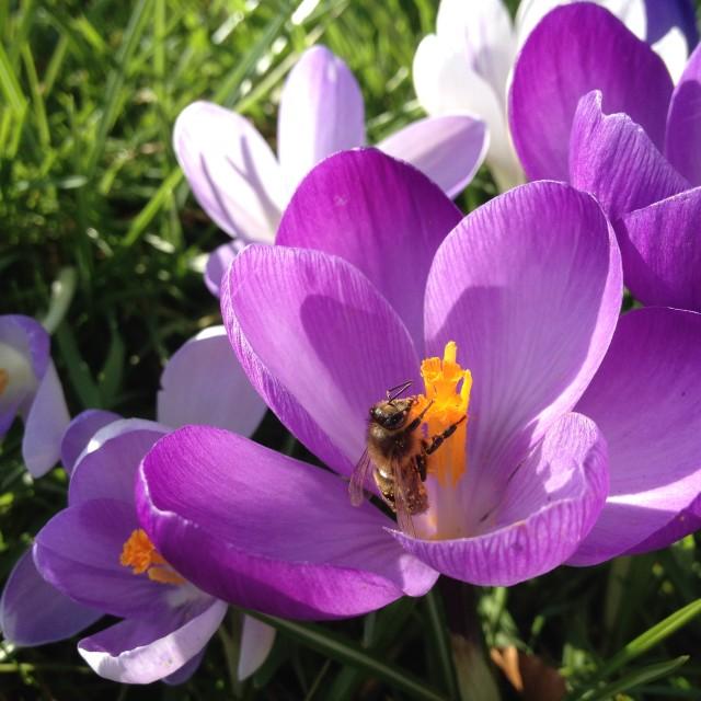 """Spring crocus"" stock image"