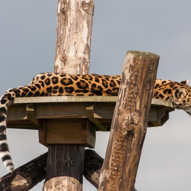 """""""Lazy leopard"""" stock image"""