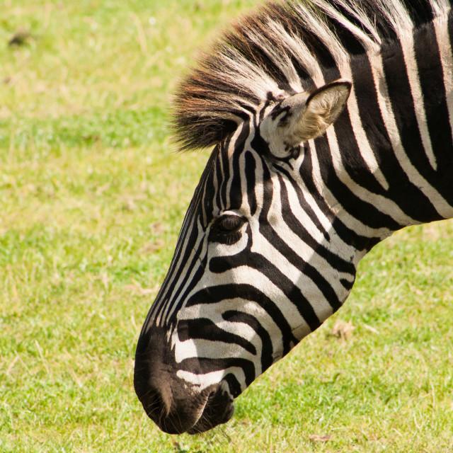 """""""Zebra grazing"""" stock image"""