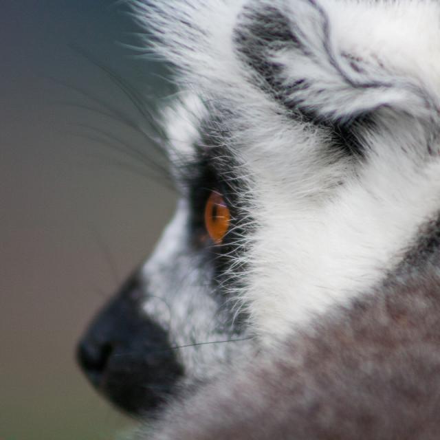 """Lemur up close"" stock image"