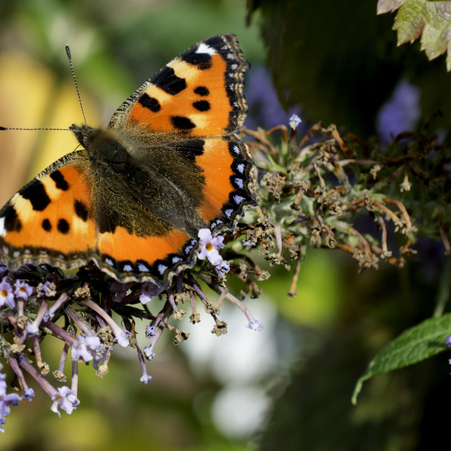 """The Small Tortoiseshell Butterfly"" stock image"