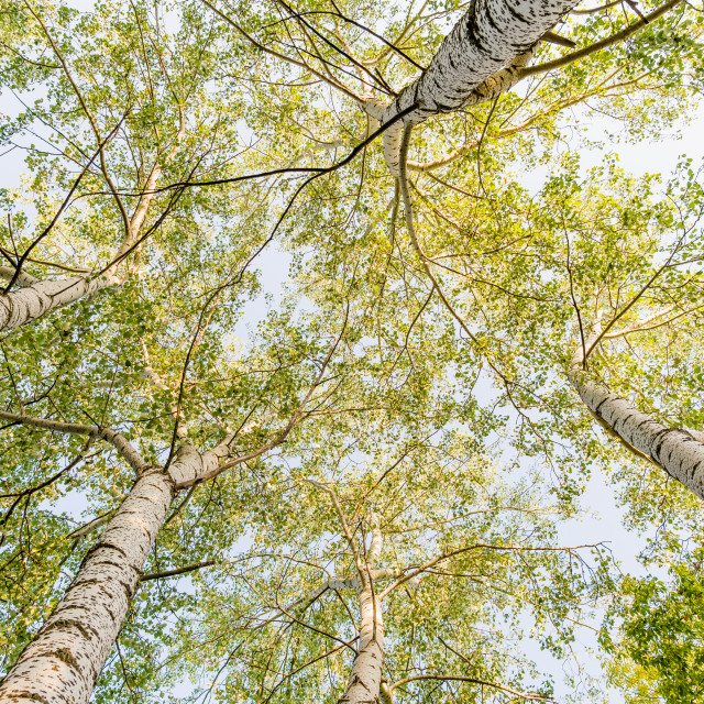 """Top of the Birches"" stock image"