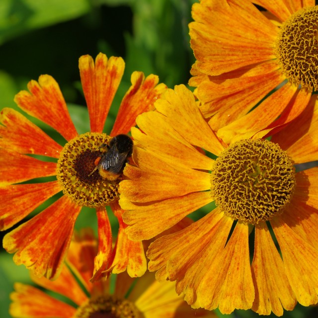 """Bumblebee in the orange pool"" stock image"