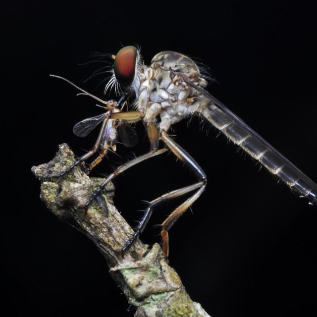 """Macro shot of a robber fly with prey"" stock image"