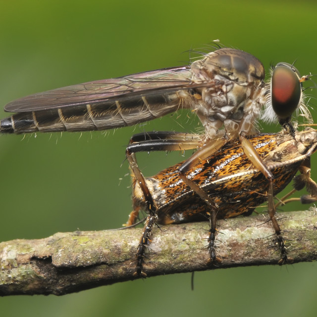 """""""Macro shot of a robber fly with prey"""" stock image"""