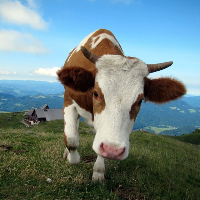 """Curious cow"" stock image"