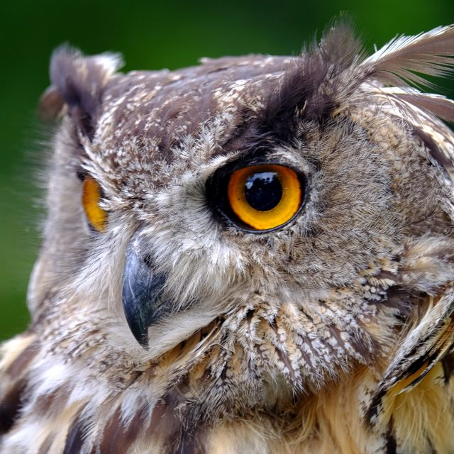 """Uhu - Eagle Owl"" stock image"