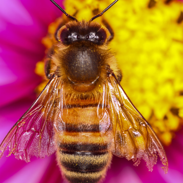 """Honey bee pollinating"" stock image"