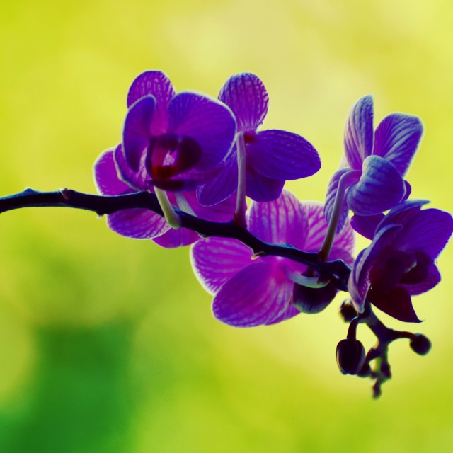 """""""Lilac Orchids"""" stock image"""