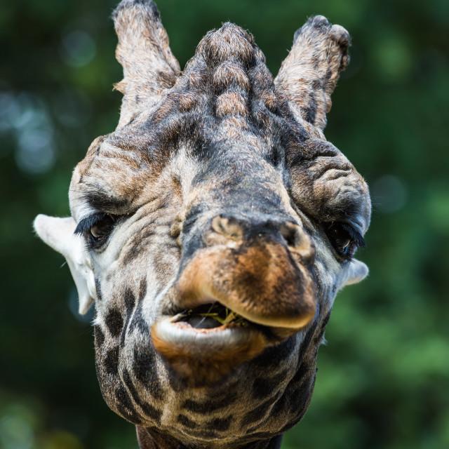 """""""Giraffe 1"""" stock image"""